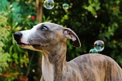 the dog and the bubbles (F@bio F.) Tags: cane animale domestico bolle sapone ritratto occhi colori dog animals pet bubbles colors portrait soap canon