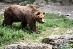 Brown bear (Cloudtail the Snow Leopard) Tags: braunbr wildpark bad mergentheim tier animal mammal sugetier br brown bear ursus arctos