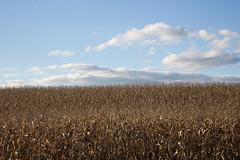 Cornfield, October 2016 (marylea) Tags: landscape oct9 2016 autumn fields corn cornfield bluesky cumulus clouds midwest michigan rural farming farm farmer field agriculture