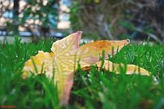 Primeras hojas de Otoño (estefiavilam) Tags: hoja otoño autumn beautiful amazing wonderful spain madrid beautifulphoto photography nikon nikond5200