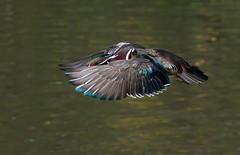 Wood Duck Drake inflight (mandokid1) Tags: canon canon500f4 1dmk1v duck waterfowl