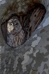 Barred Owl (Strix varia) (anthonyvanschoor) Tags: nikond7100 tamron150600mmtelephotolens barred owl strix varia howardcountymd howardcountybirdclub