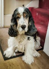 599 (verrant.james) Tags: old faithful tired geriatric spaniel dog fido eyes