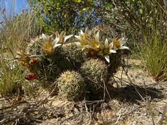 Mammillaria dioica RB1090 (Robby's Sukkulentenseite) Tags: ancistracanthae bajasur cacti cactus dioica fnrrb1090 ka0105s kakteen kaktus mammillaria mexiko puertosancarlos rb1090 reise standort topxpflanze