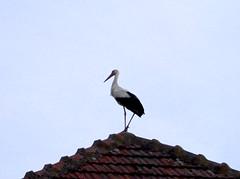 Stork on a roof (L.L.V.) Tags: vojvodina stork roda krov rooftop beautiful bird