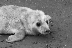 Grey seal pup (Jane.Des) Tags: blackandwhite donna nook lincolnshire grey seal newborn