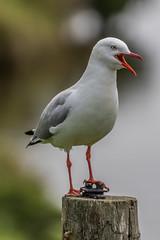 Speaker's Corner (gecko47) Tags: bird gull silvergull closeup portrait phillipisland breedingcolony post larusnovaehollandiae openbeak