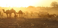 Sunset at the Fair (Alex L'aventurier,) Tags: india inde pushkar fair march camels chameaux sunset coucherdesoleil light lumire jaune yellow silhouettes mood atmosphere ambiance panorama desert dsert sable sand rajasthan