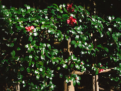 Camellia sasanqua (sunnywinds*) Tags: camellia sasanqua kyoto arashiyama japan autumn winter hasselblad cfv cfv50c digitalback sunny day foliage green flower          distagont450fle sprout