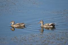 nade friso (Ahio) Tags: aves wetland albufera esgrau menorca nature d800e nikon blue reflection nadefriso gadwall marecastrepera albuferadeesgrau 2016