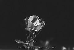 Black Rose (uselessbay) Tags: 16 agfavista100 epsonperfectionv600 ilfordhp5plus400 nikon providence rhodeisland uselessbayphotography vsco williamtalley blackandwhite buildings film floraandfauna flower nikonf4 sy uselessbay