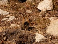 P1240526.jpg (NKSwampie) Tags: 2016 20thseptember california goldenmantledgroundsquirrel september yosemite wisebirding