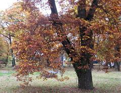 Endlich wird die Stunde kommen (amras_de) Tags: unterdeneichen wiesbaden hessen eiche caixico hrast roure dub eg oak kverko quercus tamm haritz tammet chêne dair tölgy eik eechen ažuolas ozoli eikeslekten dab carvalho eksläktet mese herbst agüerro jesen tardor podzim efterår autumn autuno otoño sügis udazken syksy automne fómhar osz haust autunno autumnus hierscht ruduo rudens herfst høst jesien outono toamna autunnu hairst höst sonbahar