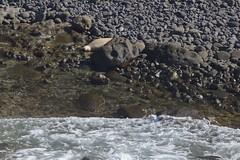 7D2_8949_DPP.Comp2048 (SF_HDV) Tags: canon7dmarkii canon7dmark2 7dmarkii 7dmark2 7dm2 kauai hawaii kilaueapoint seal monkseal