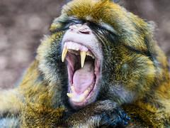 dientes (Santi BF) Tags: mono mico monkey boca mouth dientes dents