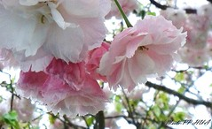 69. SAKURA BLOSSOMS: Blushing Bride (www.YouTube.com/PhotographyPassions) Tags: sakura cherryblossom tree plant blossom pastel blooms buds flower shrubs mlpphflora pink cherry cherryblossoms flowers