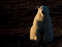 Waiting for ice. A female polar bear waits for the ice to form on Hudson Bay. Sooo warm this year. No ice in sight. (Drew Hamilton) Tags: churchill polarbear
