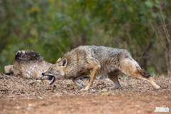 aggressive golden jackals, wilder Goldschakal, Canis aureus syriacus @ Tel Aviv, Israel 2016, November, urban nature (Jan Rillich) Tags: goldschakal golden jackal canis aureus commonjackal asiaticjackal reedwolf canisaureussyriacus living life tier goldenjackal wilder syriacus yarkon park telaviv israel 2016 urban nature ramatgan 5dmarkiii pup offspring young welpe family familie pack november morning morgen fight kampf drohung threaten threatdisplay aggression aggressive encounter opponent gegner dominance frighten canon 5dmark3 canon300mm jan rillich janrillich picture photo photography foto fotografie eos digital wildlife