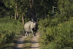 One horned rhino (sahaavijan88) Tags: photography tour adventure camp wildlife culture one horned rhino kaziranga national park india