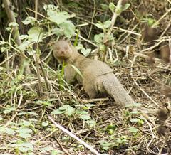 Mongoose (tsivakrishnan) Tags: mongoose