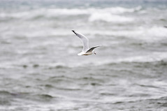 Mouette rieuse vagues - atana studio (Anthony SJOURN) Tags: mouette rieuse vagues sea bird waves atana studio anthony sjourn