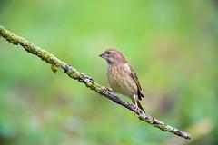 Douce pente (Jacques GUILLE) Tags: 09 arige carduelischloris domainedesoiseaux europeangreenfinch fringillids mazres passriformes verdierdeurope bird oiseau