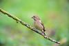 Douce pente (Jacques GUILLE) Tags: 09 ariège carduelischloris domainedesoiseaux europeangreenfinch fringillidés mazères passériformes verdierdeurope bird oiseau
