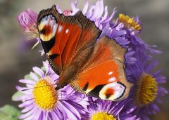 colors of fall (Simple_Sight) Tags: butterfly peacock pfauenauge closeup colors colorful schmetterling garden garten outdoors macro ngc npc