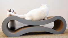 Gotcha! #goboogi #chobee #munchkin #cat # # # # # # # # # # # # (Goboogi.Munchkin) Tags:     goboogi  munchkin  chobee  cat