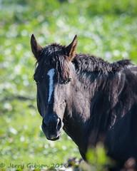 Paynes Prairie State Park Wild Horses 11-16-2016 (Jerry's Wild Life) Tags: alachua alachuacounty county florida paynesprairie paynesprairiestatepark wildhorse wildhorses