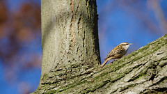 a Tree creeper : I have found Grumpy (Franck Zumella) Tags: bird grumpy tree creeper treecreeper grimpereau light lumiere grincheux oiseau blue sky ciel bleu