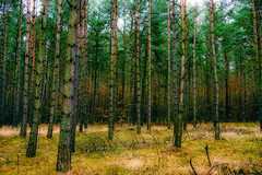 Dark pine forest in late autumn. (stray_light_rays) Tags: green forest forestphotography woods forests treegrove grove dark autumn colorsofautumn scenics scenery scene tranquility serene nobody nopeople nature beautyinnature pomeranian pines pine pinetrees