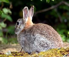 Rabbit turns around! (pstone646) Tags: rabbit animal nature wildlife kent dungeness mammal fauna closeup