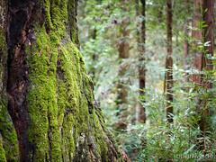 Henry Cowell Redwoods (Robert Windel) Tags: northerncalifornia phaseone mediumformat nature norcal redwoods trees henrycowell felton redwoodsstatepark
