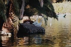 (Petrichorss) Tags: nature naturaleza parque park lake estanque patos cisne duck swan view ciutadella barcelona