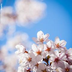 Cherry Blossoms / Tokyo, Japan (yameme) Tags: travel flowers nature japan canon eos tokyo bokeh  sakura shinagawa cherryblossoms    meguro    24105mmlis   5dmarkii 5d2