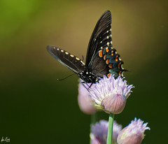 Everything I love about early summer.  Explored.... (Dennis Cluth) Tags: summer flower art butterfly nikon 70300mm d90
