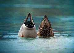 MALLARD TAILS (metherit) Tags: wild bird nature canon duck colorado diving 300mm 7d coloradosprings mallard mates avian feathered metherit