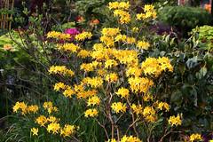 Azalea Luteum (Four Seasons Garden) Tags: england west flower colour english marie garden four spring seasons tony national azalea scheme staffordshire newton ngs fourseasonsgarden midands
