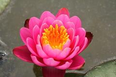 Lotus Flower (m.ogawa) Tags: pink flower canon lotus flor flordelotus 60d ハスの花