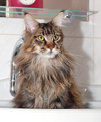 Maine Coon - My cat in the sink (Nemodus photos) Tags: pet cute eye animal animals fun eyes furry kat feline chat fuzzy sweet tabby tiger kitty kittens whiskers cuddly kitties tabbies felines animales katze gatto animale cutecat cutecats kaz katt ket cutekitten cutekittens   fz50catchatmaincooncats