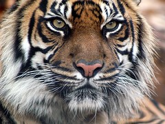 Indian_Tiger (XandeCosta) Tags: wallpaper 1024x768