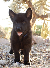 Bernadette Bear Full (Immature Animals) Tags: arizona cactus rescue dog baby black animal female puppy desert tucson ears az marshall whiskers belly foster derek bark chow pup paws frontyard adopt chowchow neuter spay koalition derekmarshall