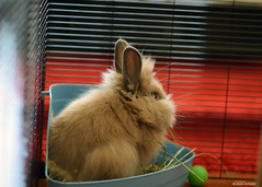 pudge (Jason Scheier) Tags: pets cute bunny animal hair fur furry soft fluffy reflect creatures creature lionshead lionhead rabiit