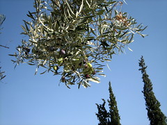 045 - Olive tree (Scott Shetrone) Tags: plants other graveyards events places athens greece 5th kerameikos anniversaries cyprustree
