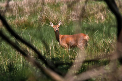 A Look Before She Left (me'nthedogs) Tags: somerset deer naturereserve roedeer levels catcott