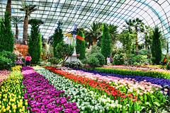 Tulipmania (chooyutshing) Tags: flowers singapore tulips display tulipmania marinabay flowerfield flowerdome gardensbythebay nationalparksboard