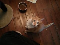 Slim Jim (Jimmy Legs) Tags: street orange cats cat found lost uncle tabby stray bushwick microchip slimjim