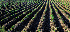 Furrows and Ridges (Chrisnaton) Tags: field seed potato agriculture furrows farmfields potatofurrows fieldfurrows