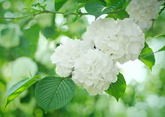 Japanese Flowering Snowball Tree (floralgal) Tags: park flowers nature garden blossoms florals viburnum snowballflowers snowballtree japanesefloweringsnowballtree japanesesnowballflowers